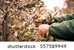 Manual Harvesting Of Olives In...