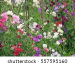 Mixed Colour Sweet Peas ...
