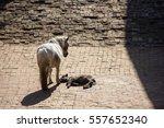 Dead Calf  Cub  Mother Crying...