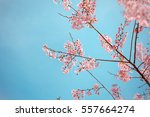 wild himalayan cherry spring... | Shutterstock . vector #557664274