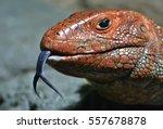 Caiman Lizard  Dracaena...