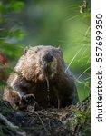 beaver in hinton  alberta.   Shutterstock . vector #557699350