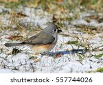 Tufted Titmouse Feeding In The...