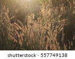 grass flower sunlight beauty in ... | Shutterstock . vector #557749138