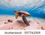 Stock photo an endangered hawaiian green sea turtle cruises in the warm waters of the pacific ocean in hawaii 557762509