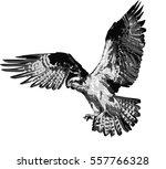 osprey   detailed realistic...