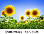 Beautiful Sunflowers In The...