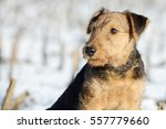 Small photo of puppy airedale in the snow