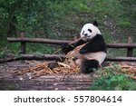 giant panda eating bamboo lying ... | Shutterstock . vector #557804614