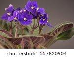 African Violets  Saintpaulia...
