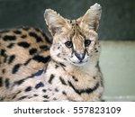 Portrait Steppe Cats   Serval ...