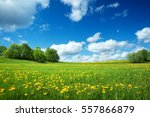 field with yellow dandelions... | Shutterstock . vector #557866879