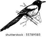 bird magpie | Shutterstock .eps vector #55789585