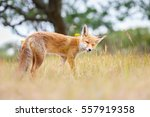 red fox cub | Shutterstock . vector #557919358