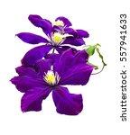 purple clematis flowers... | Shutterstock . vector #557941633