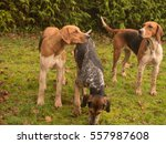 pack of foxhounds  canis lupus... | Shutterstock . vector #557987608