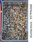 Small photo of Small Alive Edible Escargot Snails in Crate French Cuisine