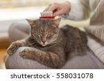 tabby cat lying in her owner's...   Shutterstock . vector #558031078