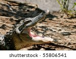alligator with its mouth open. | Shutterstock . vector #55806541