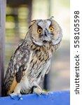 Little Curious Grey Owl  Close...