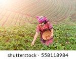 little hill tribe farmer...   Shutterstock . vector #558118984