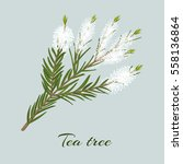 tea tree blossoming twig.... | Shutterstock .eps vector #558136864