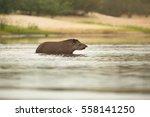 Wild Tapir Crossing A River