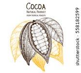 cocoa pod vector illustration.... | Shutterstock .eps vector #558182599