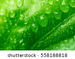 Drops Water On Green Leaves ...