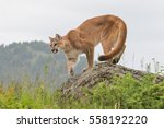 Mountain Lion  Cougar  Puma On...