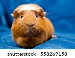 Funny Guinea Pig  On A Blue...