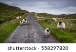 sheep on the road in scotland... | Shutterstock . vector #558297820