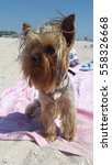 Yorkshire Terrier Jimmy Sits O...