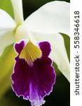 Small photo of a beautiful white and purple elegant Cattleya Laelia orchid plant flower closeup macro with delicate details of the lip.