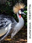 The Grey Crowned Crane ...