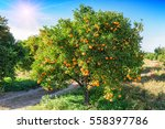 Lush Orange Tree With Juicy...