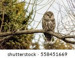 Stock photo barred owl 558451669