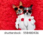 couple of two  dogs lying in... | Shutterstock . vector #558480436