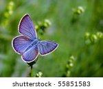 Common Blue Butterfl...