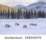 Wild Elk in winter Banff National Park Alberta Canada - stock photo