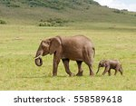 African Elephant With Calf...