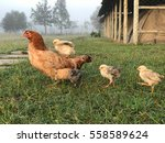 Hen On A Grassy Field With A...