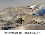 Small photo of Female elephant seal with hours old infant pup on a beach in Central California. Pups nurse about four weeks are weaned abruptly then abandoned by their mother, who heads out to sea within a few days.