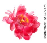 Stock photo the flowers are a rare color peony isolated on white background 558672574