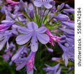 Small photo of Blue Agapanthus Flower after Rain
