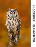 Long Eared Owl  Asio Otus ...