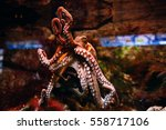 octopus on a glass wall in... | Shutterstock . vector #558717106