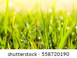 Small photo of natural grass and water drop in the morning and guttation droplets of water from the pores of plants at tip of leave margin