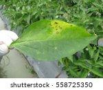 Gray Leaf Spot Disease On Pepper