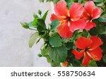 Beautiful Red Hibiscus Flower...